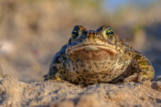 Natterjack toad frontal view Frontal view of a Natterjack toad (Epidalea calamita) in natural sandy habitat. With blue sky and shallow DOF bootes stock pictures, royalty-free photos & images