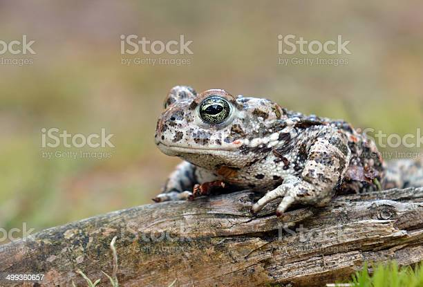 Photo of natterjack toad