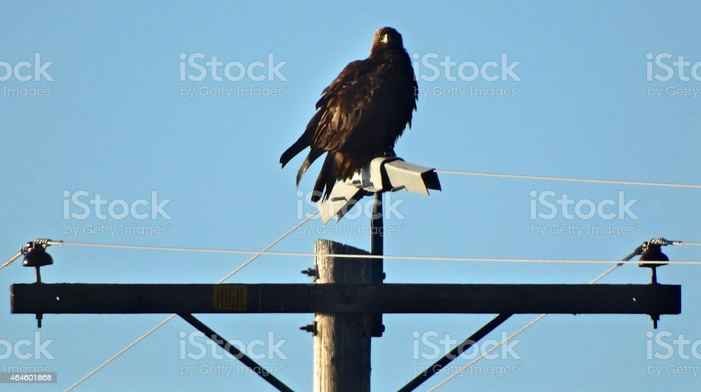 Natty Golden Eagle - foto stock