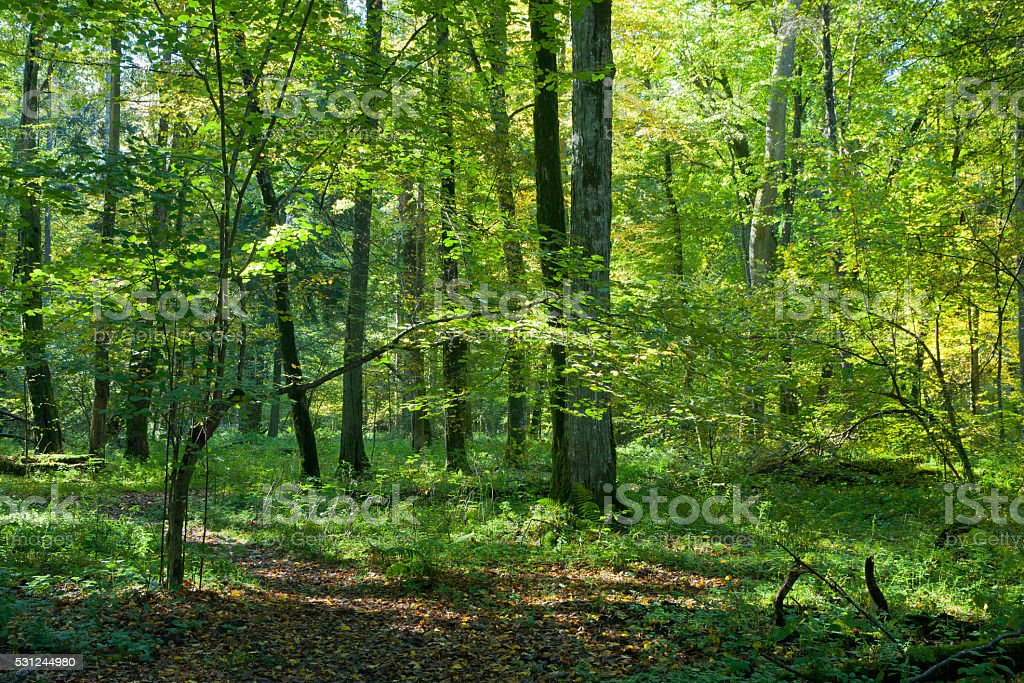 Natura deciduous stand of Bialowieza Forest in fall stock photo