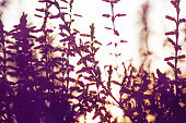 Natural abstract soft pink floral summer background with blurred flowers plant. Selective soft defocused photo. Silhouettes of flowers in the sunset light of the sun.