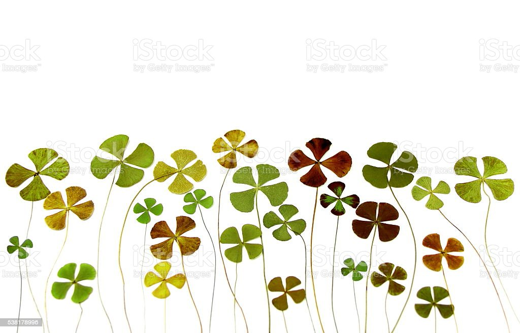 Natural and dry four leaf clover. stock photo