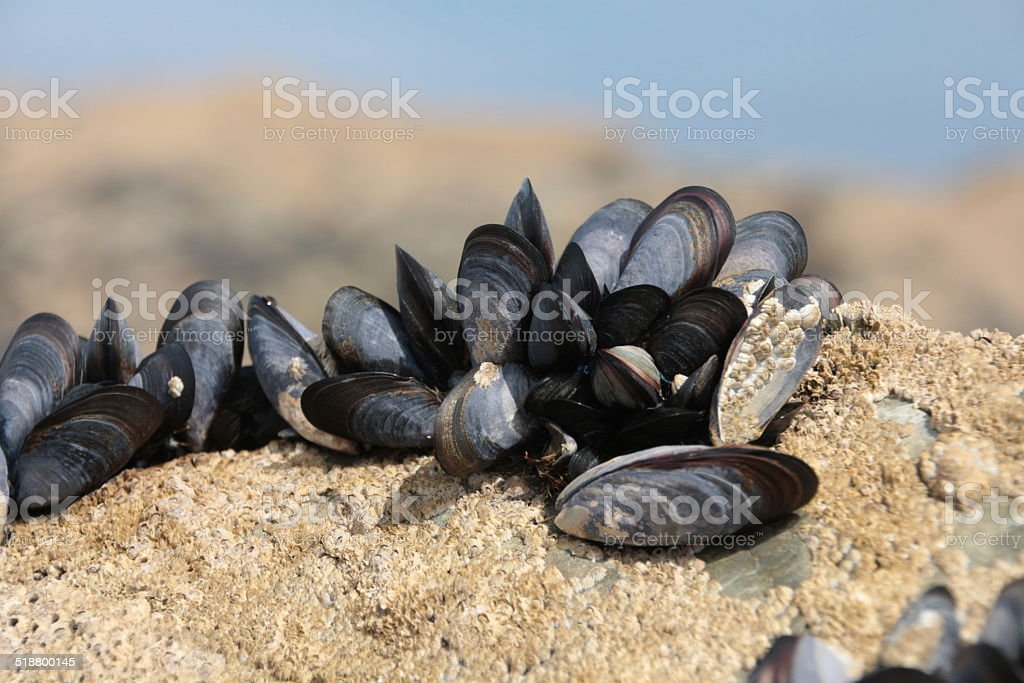 Natural arrangement of sea shells(Mussel)  and barnacles  on a rock stock photo