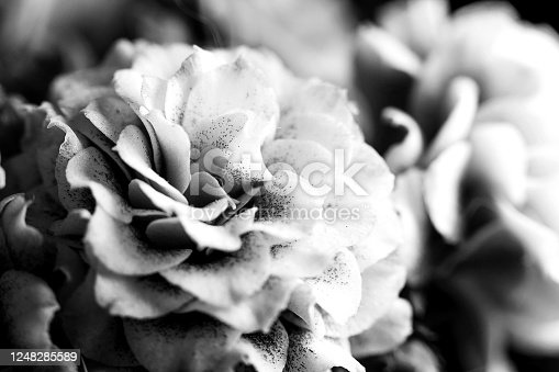 637513166 istock photo Natural background. Beautiful delicate pink flowers of Kalanchoe macro. Macro view of abstract nature texture and background organic pattern. Copy space. Template for design. Black and white photo 1248285589