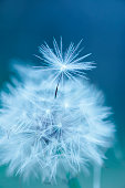 Natural background, close up of dandelion, abstract background