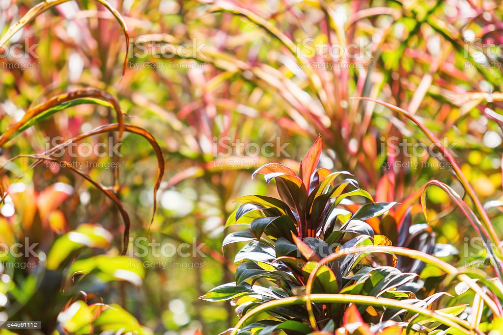 Natural background - Cordyline plants with bright colorful leaves. Thailand. stock photo