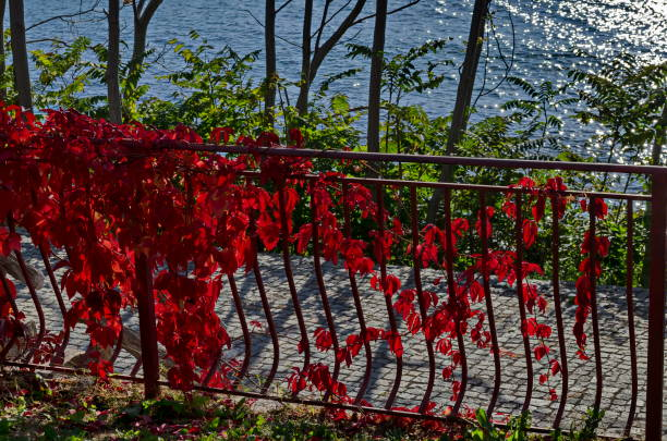 Natural background from autumnal foliage of red leaves tree on the Black Sea coast  in ancient city Nessebar or Mesembria stock photo
