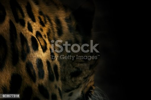 istock natural background from darkness leopard spots 923577318