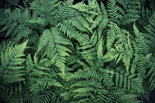 Natural background from fern leaves