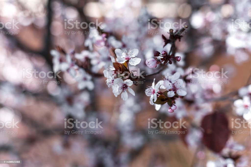 Natural background of blossoming cherry in a spring day stock photo