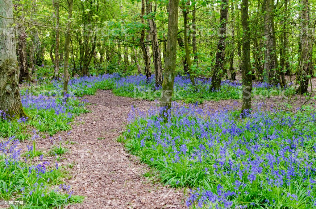 Natural background of bluebells in a forest stock photo
