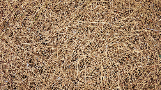 Natural background of dry pine needles of Pinus canariensis on the ground