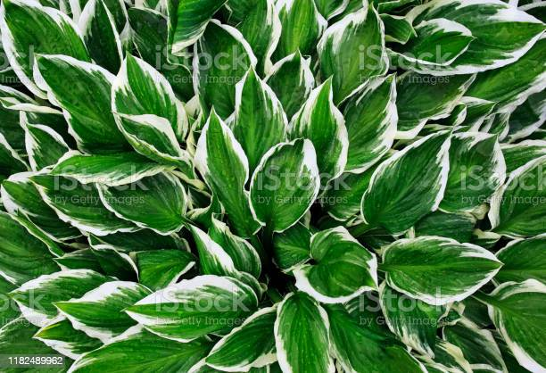 Photo of natural background of fresh green leaves with white stripes Hosta flower plants after warm rain