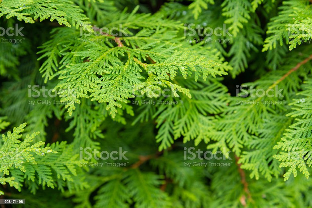natural background of green tree thuja stock photo