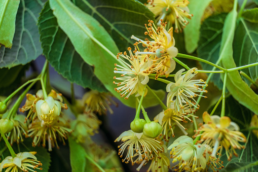 Natural background of linden tree flowers with limited depth of field