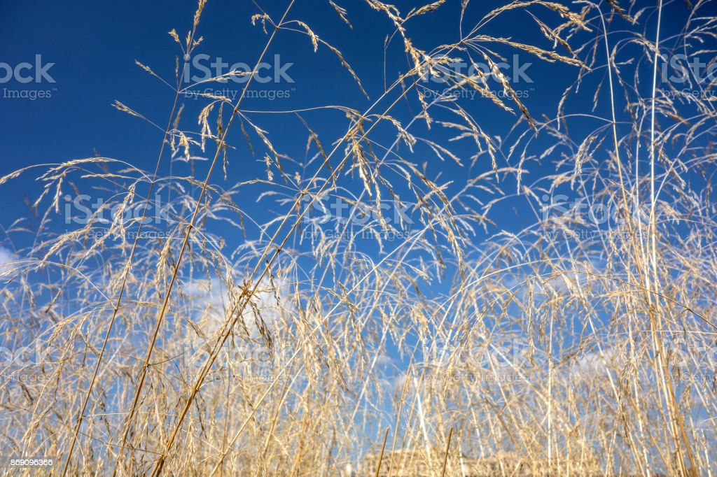 Natural background of long dry grass stock photo