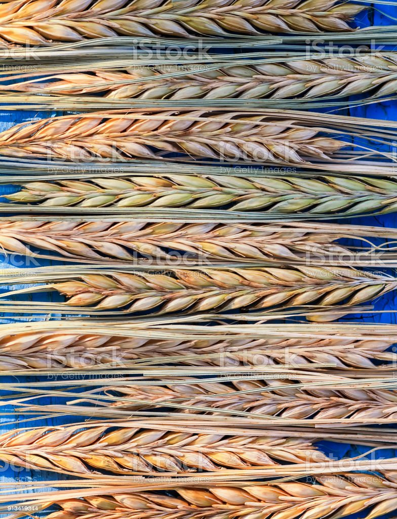 natural background of many rows of ripe Golden ears of corn on a blue wooden table stock photo