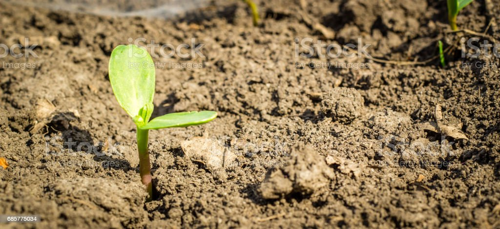 Natural background sprout on fertile soil royalty-free stock photo