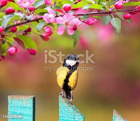 istock natural background with a beautiful tit bird sitting on a wooden fence in a rustic garden surrounded by apple flowers on a sunny spring day 1143328259
