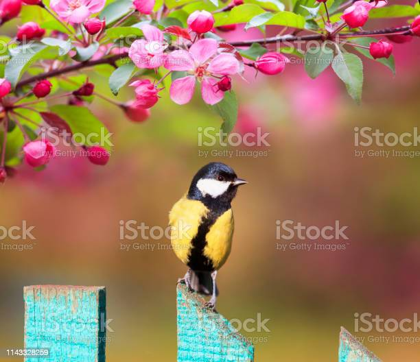 Natural background with a beautiful tit bird sitting on a wooden in picture id1143328259?b=1&k=6&m=1143328259&s=612x612&h=9wsx2uadbjsofxge0gbrukf1 o i7sxtnngcul xf1w=