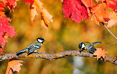 natural background with a pair of cute bird Tits sitting in an autumn garden on a maple branch with bright red leaves on a clear day