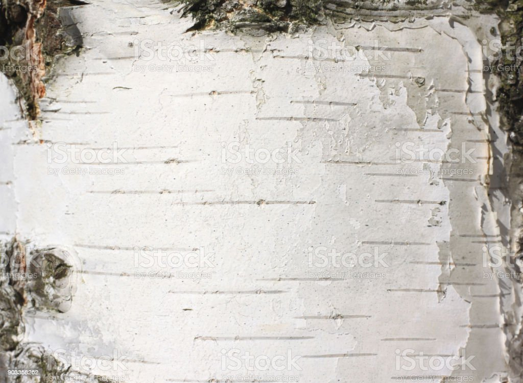 fondo natural con textura de corteza de árbol de abedul - foto de stock