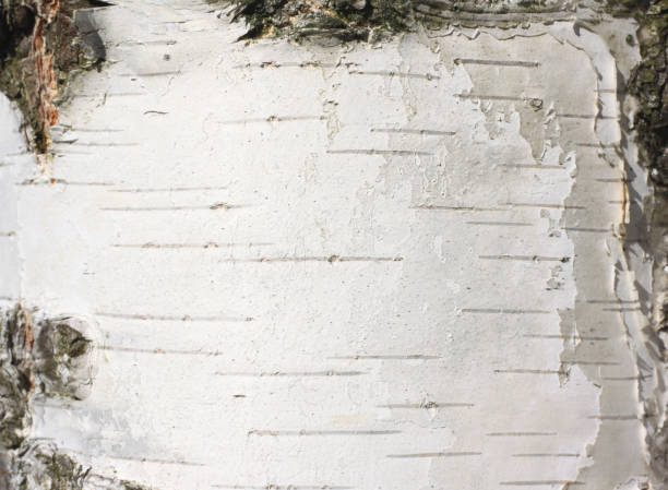natural background with birch tree bark texture stock photo