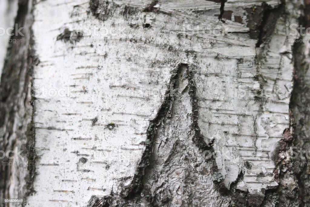 자작나무 나무 껍질 질감으로 자연 배경 - 로열티 프리 0명 스톡 사진