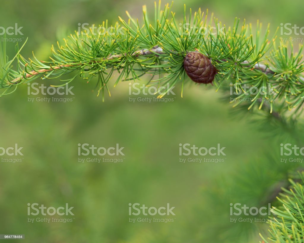 Natural background with branches of fir tree royalty-free stock photo
