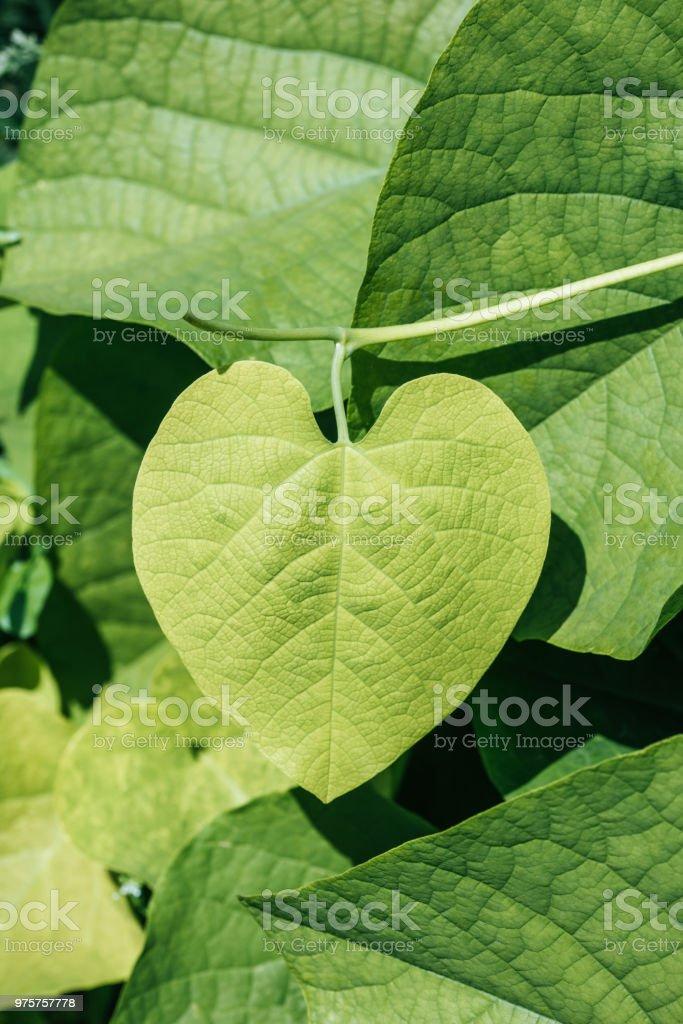 natürlichen Hintergrund mit grünen Blättern auf Anlage - Lizenzfrei Botanik Stock-Foto