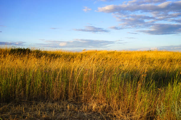 Natural background with high dried grass in the steppe against Natural background with high dried grass in the steppe against the blue sky steppe stock pictures, royalty-free photos & images