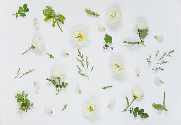 Natural background with white wild rose flowers Natural background wild rose stock pictures, royalty-free photos & images
