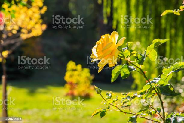 Natural background yellowgreen color yellow fragrant garden rose in picture id1053879054?b=1&k=6&m=1053879054&s=612x612&h=lfw2jj1d7m6goz1y lyfhtffek4ssvm0oqod2ciom5w=