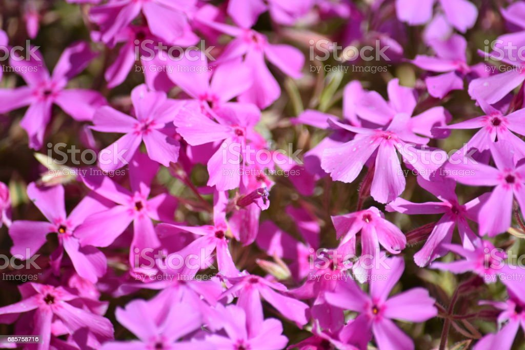 Natural backgrounds, bright pink flowers foto stock royalty-free