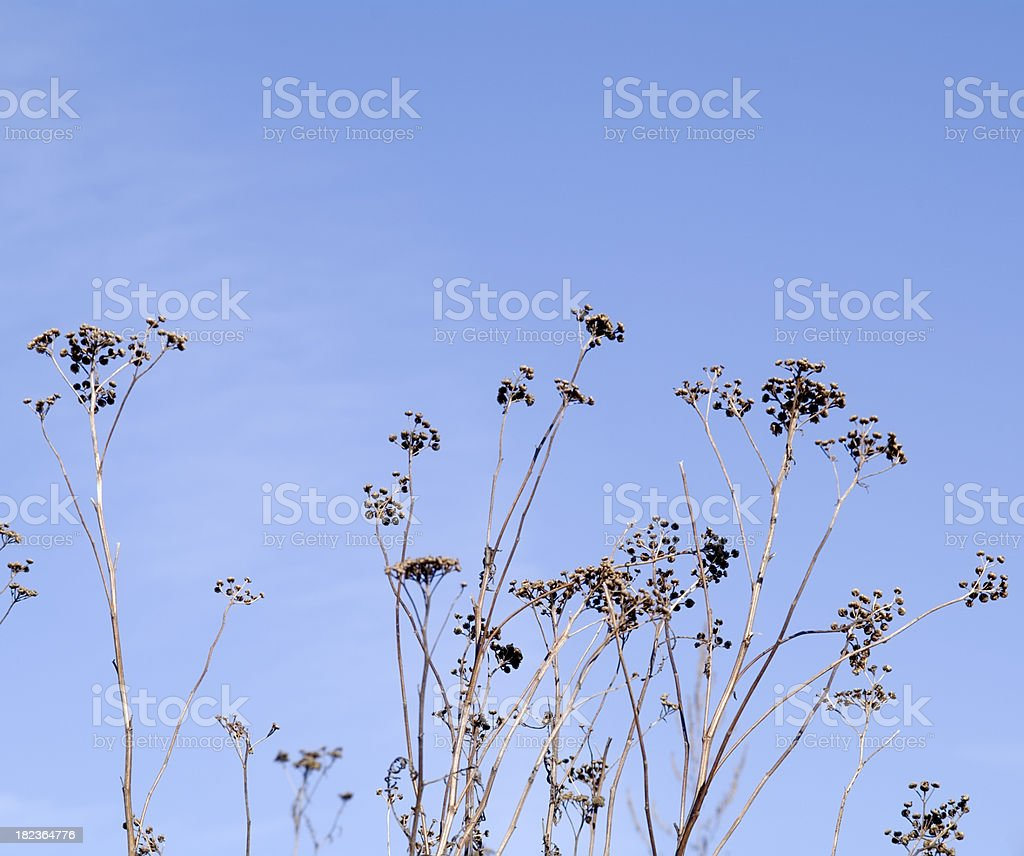 Natural Backgrounds: Dried Plants against Blue sky stock photo