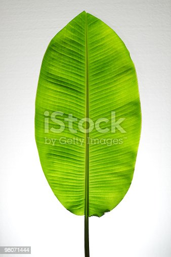 Natural Banana Leaf On White Background Stock Photo & More Pictures of Animal