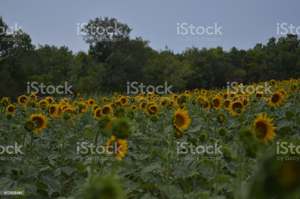 Natural beautiful sunflowers in the field stock photo