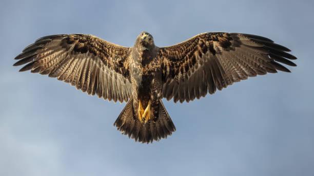 Natürliche Schönheit: Schwarzbrust-Buzzard-Adler fliegen unter Sonnenlicht – Foto