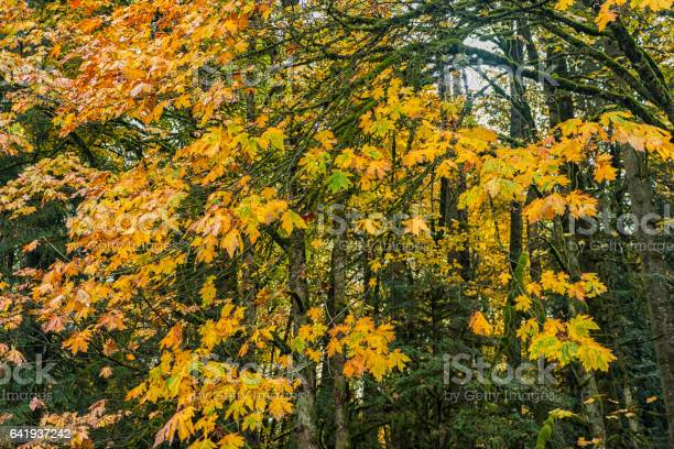 Photo of Natural Beauty of Vancouver Island series -  Golden maple leaves hanging  to big tree 1.
