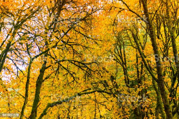 Photo of Natural Beauty of Vancouver Island series - Golden maple leaves festival on October at Goldstrem park 3, Vancouver Island Canada.