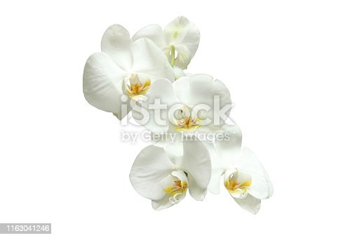 Natural blooming white orchids on white background, multiple flowers
