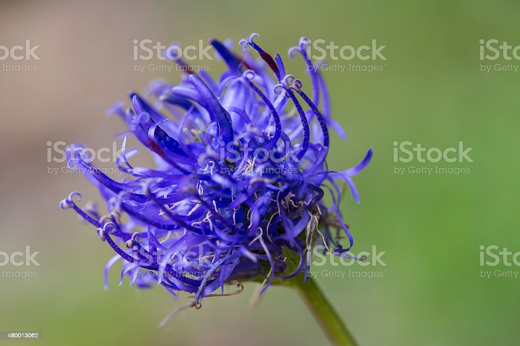 Natural blue blossom of round-headed rampion flower stock photo