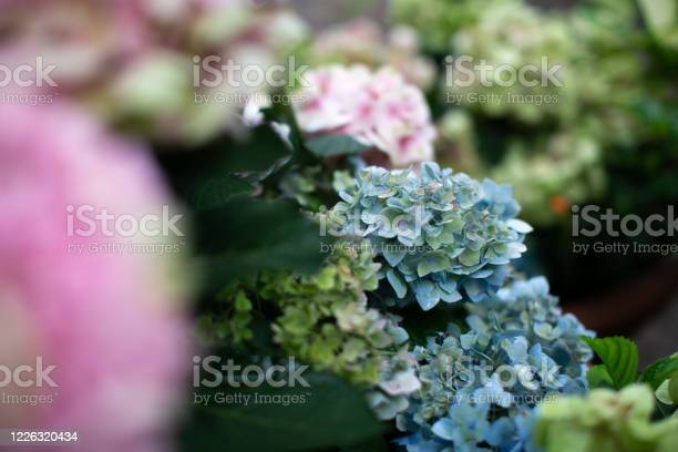 Photo of Natural blue hydrangea. Hydrangea blooming in spring