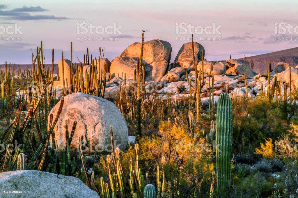 Jardín de cactus naturales - foto de stock
