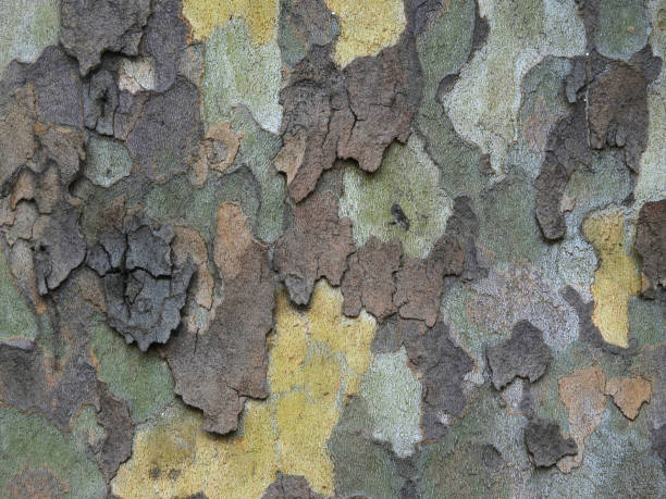Natural camouflage pattern: Plane (sycamore) tree bark Plant, Wood - Material, Abstract, Backgrounds, Botany sycamore tree stock pictures, royalty-free photos & images