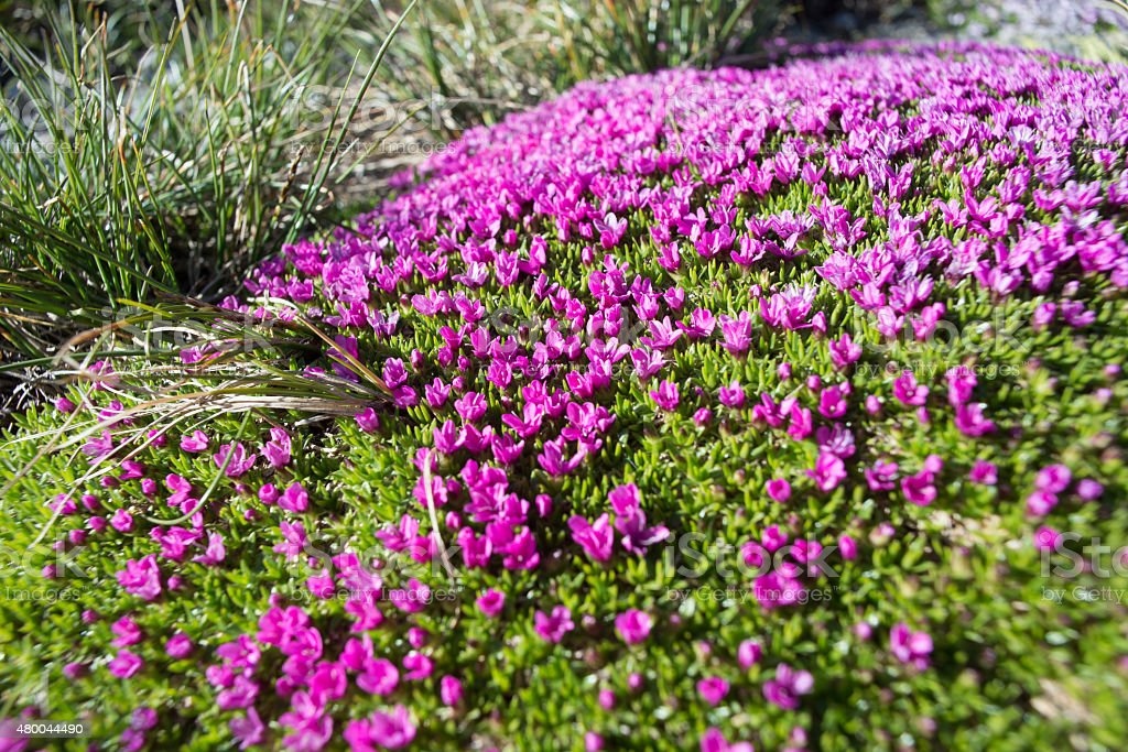 Natural carpet of small alpine purple flowers stock photo