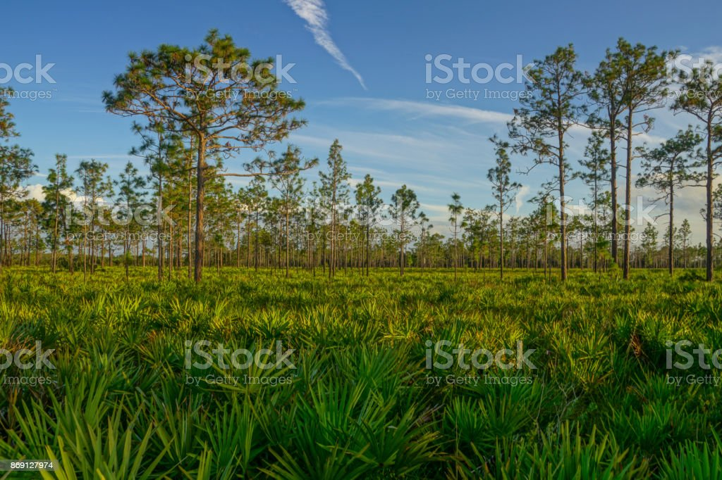 Natural Central Florida Woodlands with Palm and Pine Trees stock photo