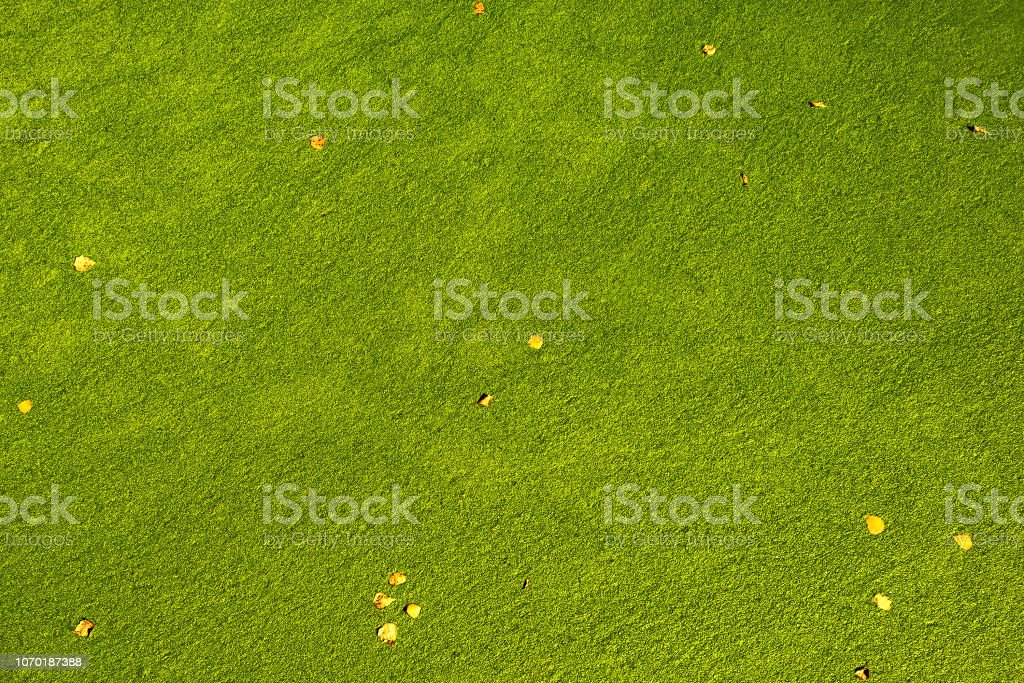natural color of fallen leaves on green swamp water surface stock photo