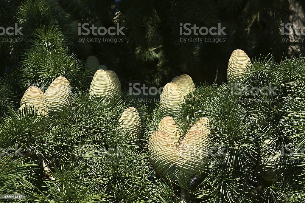 Natural cones on spruce royalty-free stock photo