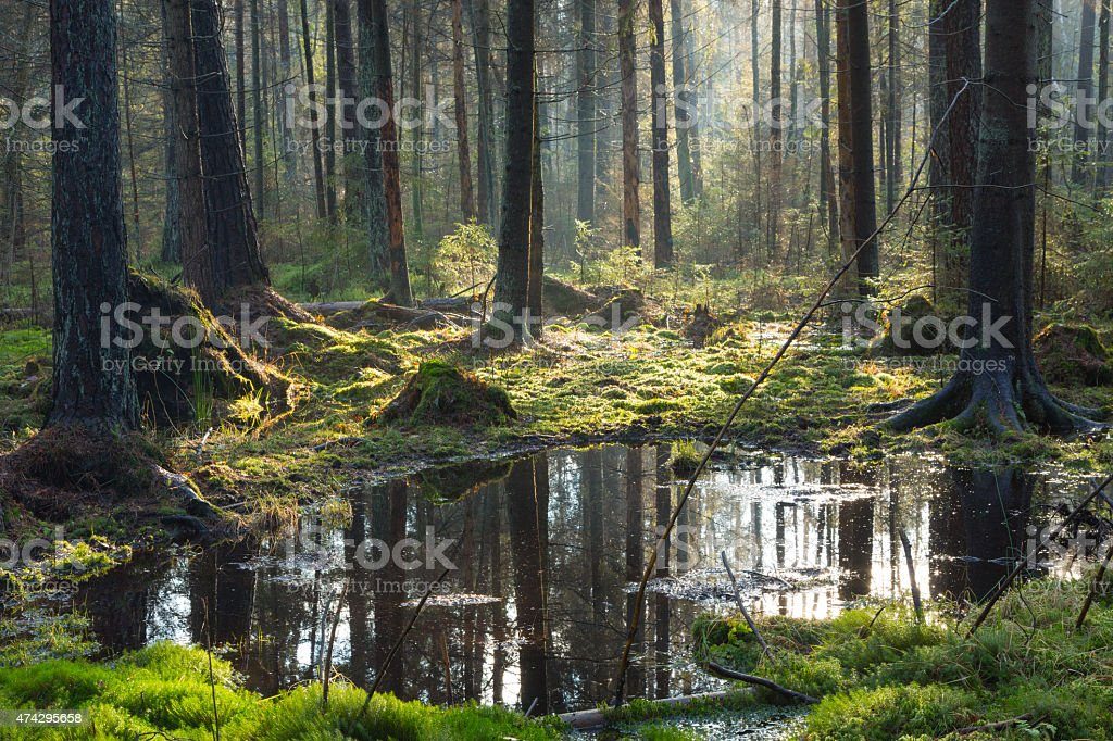 Natural coniferous stand of Bialowieza Forest Landscape Reserve stock photo